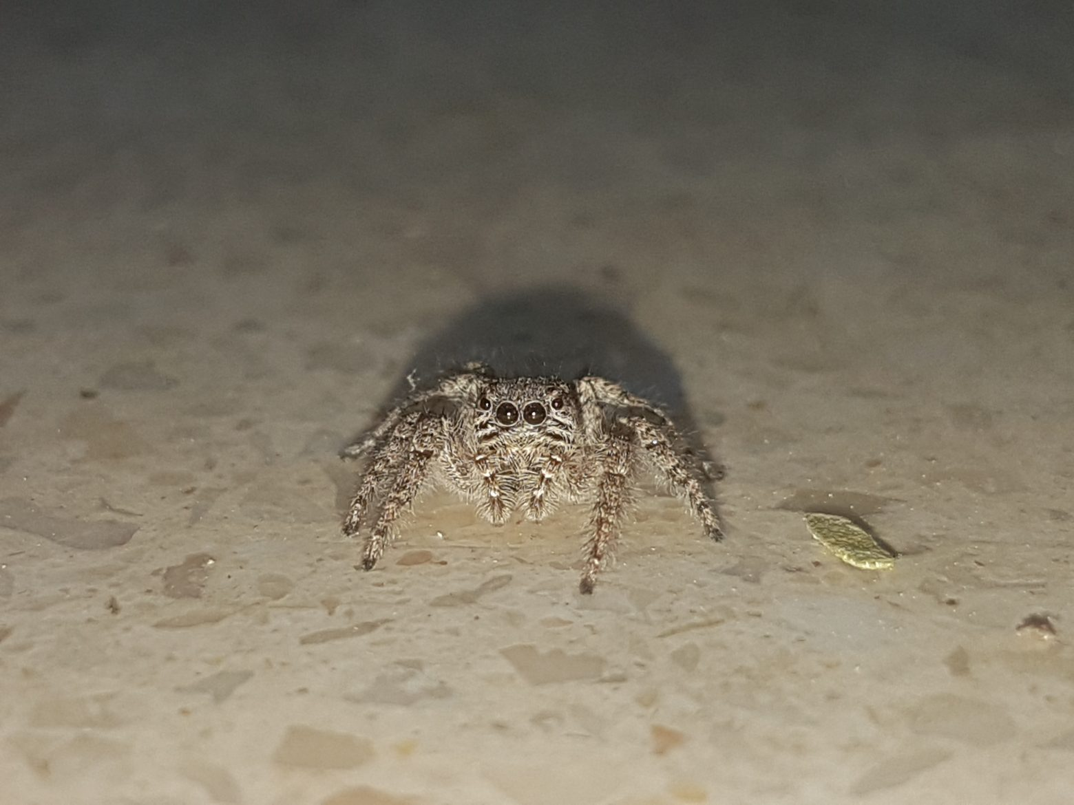 ۲۰۱۸۰۳۲۹ ۱۸۳۱۲۹ 1560x1170 - عنکبوت پشمالو