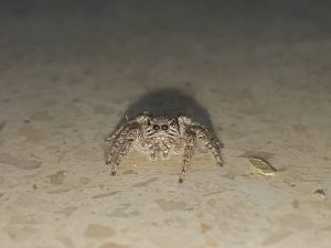 ۲۰۱۸۰۳۲۹ ۱۸۳۱۲۹ 300x225 - عنکبوت پشمالو