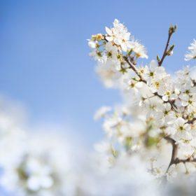 0823s 280x280 - شکوفه های بهاری زیبا