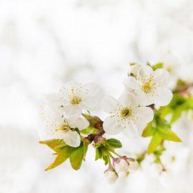 0824s 280x280 - شکوفه های بهاری زیبا