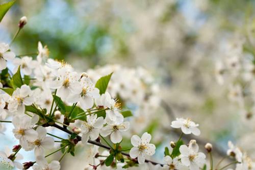 0826s - شکوفه های بهاری زیبا